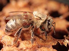 Eine von Varroa-Milben befallene Jungbiene